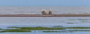 polar-bears-expedia-content-[size_1230x470].tmb-