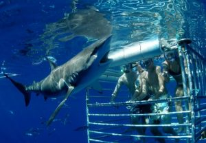 Swim-with-Sharks-Oahu_2-650x450