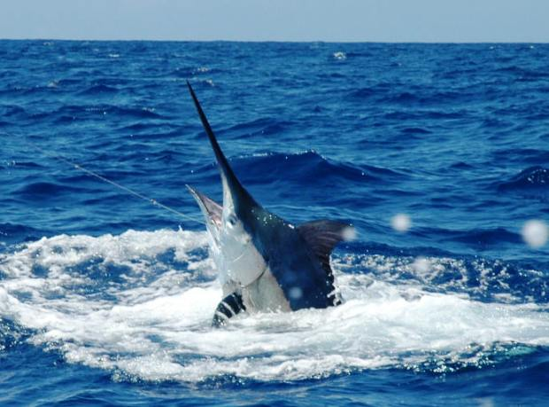 Marlin Fishing Panama