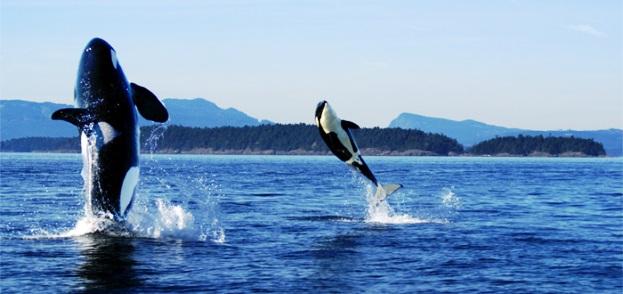 Washington The San Juan Islands whales