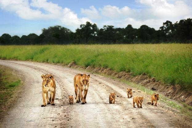 Masai mara the lions