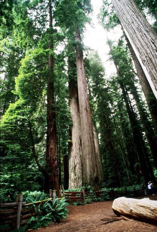 Visitors in Stout Grove Redwoods